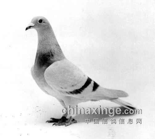 西翁信鸽之 海氏西翁 美国西翁