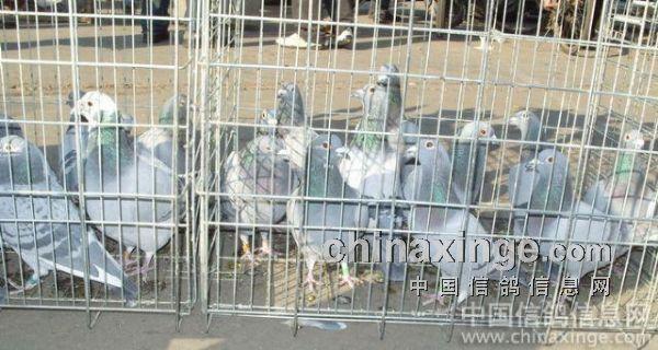 笼子里都是好鸽子-我的家乡四平鸽市图片
