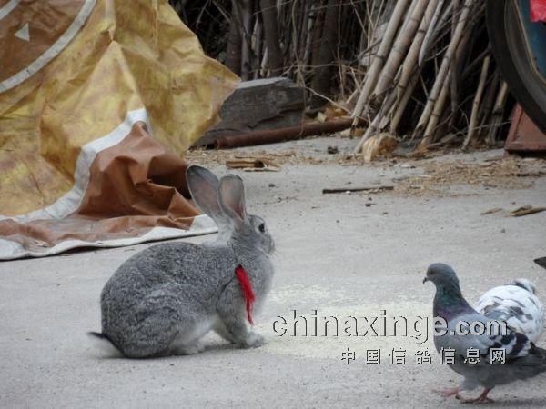 鸽子与其它小动物的友谊(图)