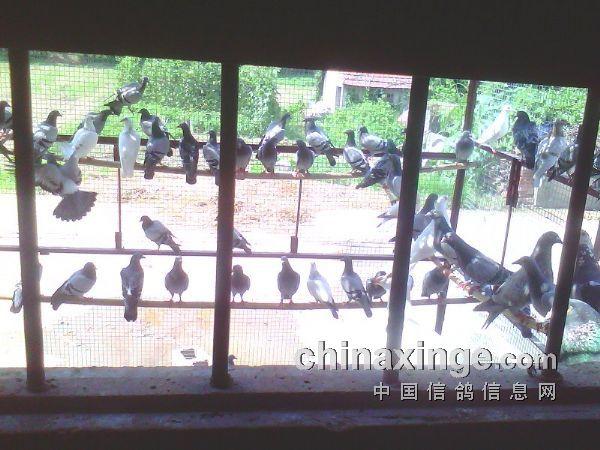 2013年老家鸽子生活照-韩山部落-中国信鸽信息网各地