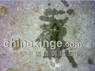 典型的球虫粪便,水样绿便-急性嗉囊炎图片