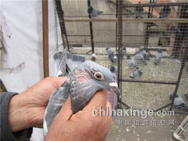 正在放气.注:鸽子的脖子肿大原因气体不在嗉囊,也不是气管.是图片
