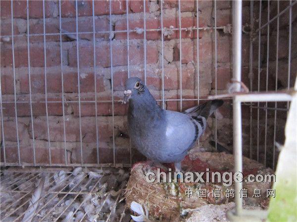 放完气的鸽子,吃食,粪便都很正常!不知道是什么怪病!《还有配对图片