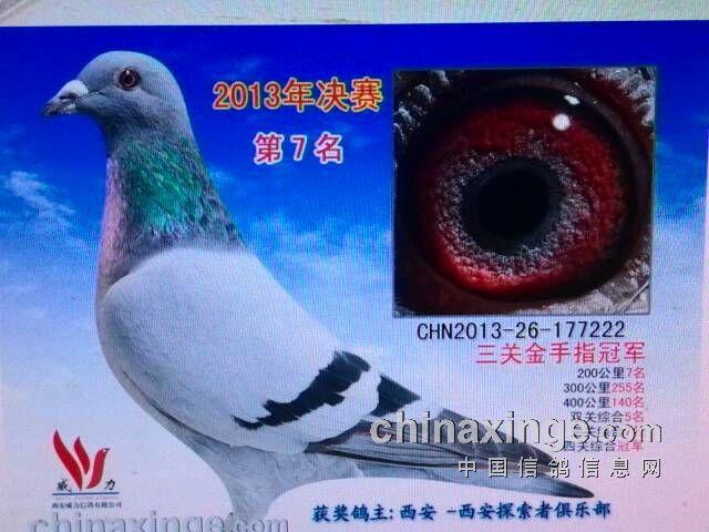 鸽王冠军长什么样的眼睛-翔羽鸽舍ay-中国信鸽信息网