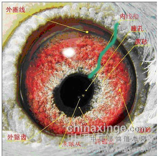 我们先来介绍眼睛的结构:-高级 点眼丛 信鸽的鸽眼