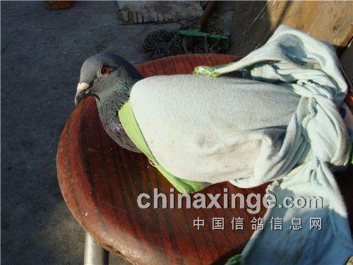 中国 太阳/2、把鸽子用腰衣拴住,放在太阳光线下,眼睛正对太阳光。这样...