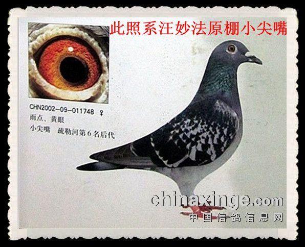 上海西翁信鸽-吴淞小尖嘴