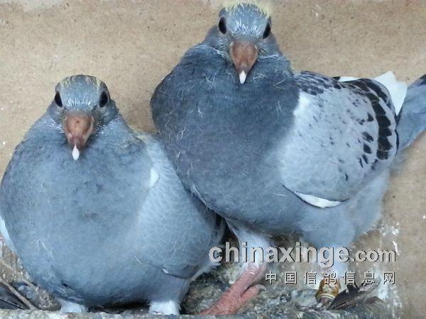 作出一羽灰白条一羽雨点白条-浅析温度对信鸽羽色的影响图片