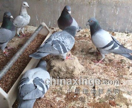 动物 鸽 鸽子 鸟 鸟类 458_374图片