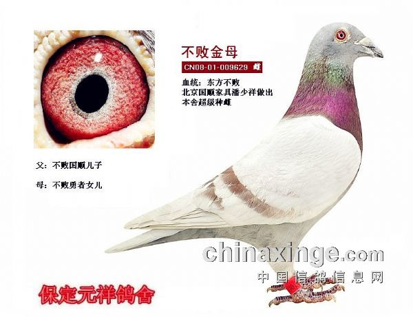 在我们探讨绛色鸽的遗传之前