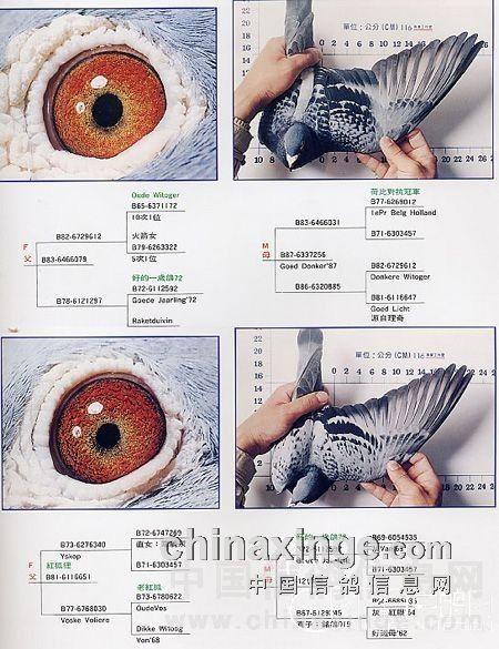 詹森八大配对种鸽 图片加分析