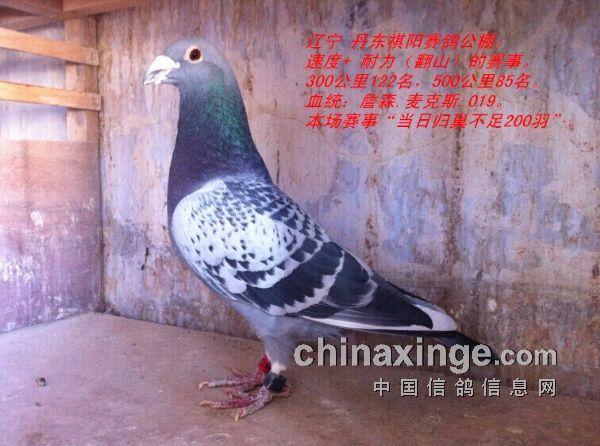 """棚""""脏儿""""詹森.麦克斯(图)-中国信鸽信息网"""