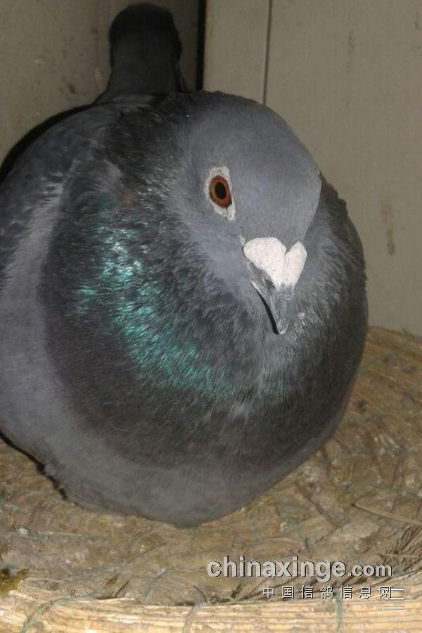 有了鸽子,小毛制作一个铁丝笼子放在租房门口