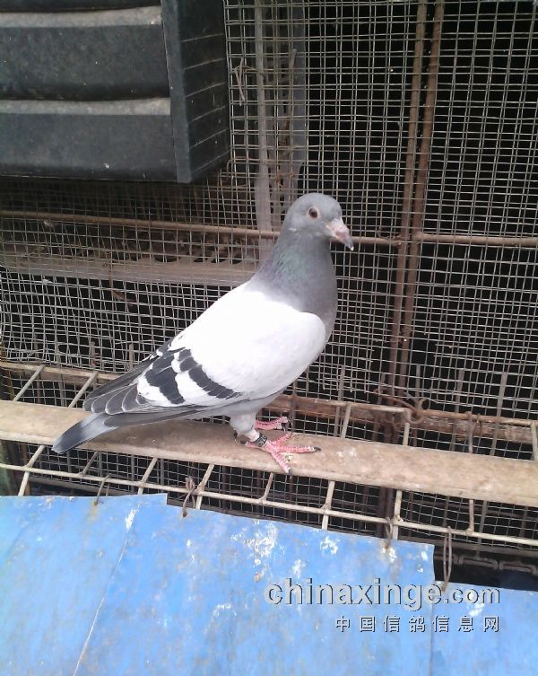 2015年即将展翅飞翔的幼鸽【图】-翔达鸽舍-中国信鸽