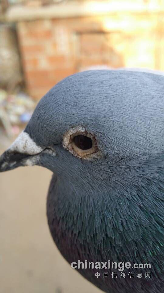 600公里健康赛鸽上笼,多天后归巢,却瞎了眼睛