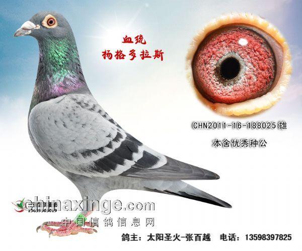河南商丘个人信鸽图片