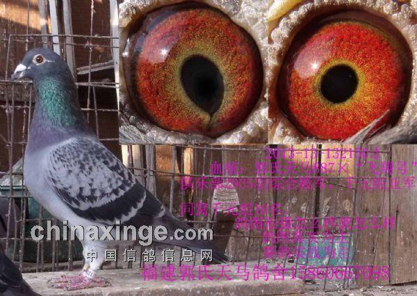 赛鸽育种看似无定律,但又有相对的规律,所以一切都靠鸽友自己的鉴