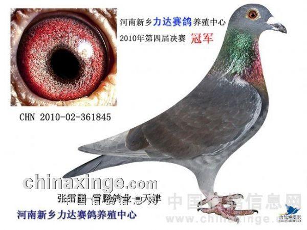 4.注意那些在巢里不时浑身湿淋淋的幼鸽。他们之所以浑身湿透是窝巢潮湿引起的,窝巢之所以潮湿是因为父母鸽喝了和排出太多水分。这一定是有其来由的。摄取过多水分的鸽子健康状态一定不好,大部分是消化系统有毛病,以这种鸽子做开始就是个坏的开始。幼雏躺在自己的排泄物上也有可能会浑身湿透。那么为何会这样呢?