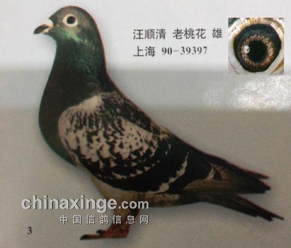 20年前优秀吴淞鸟:需传承和发展(图)-信鸽园地-中国