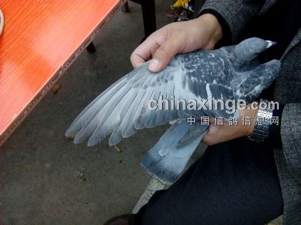 中国信鸽协会赛事直播