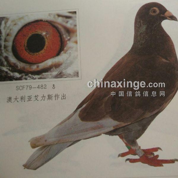 """六次冠军""""老红""""的长距离鸽眼(图)-中国信鸽信息网"""