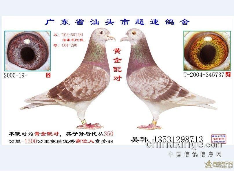 信鸽眼砂配对图片