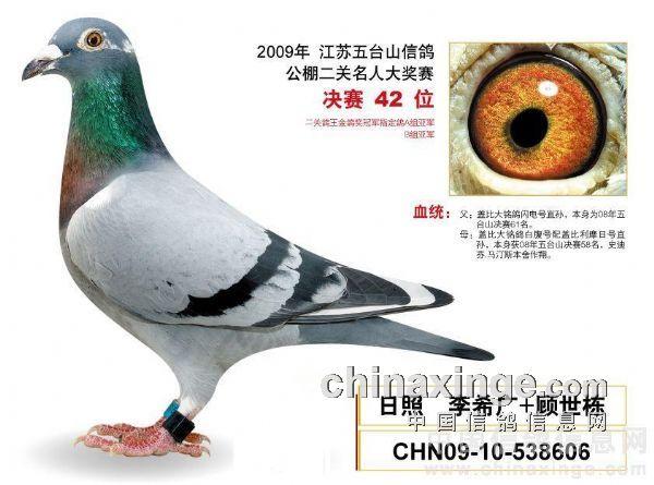传承号 中国 信鸽 信息网