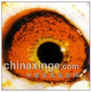 有色眼志点评 砂眼 -中国信鸽信息网