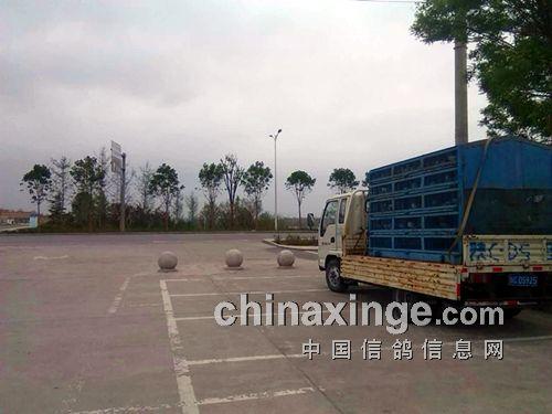 具体司放地在富平县蓝光中学门口-宝铁鸽会200km训放已开笼图片
