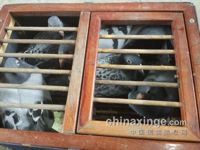 中国幼交_这几羽幼鸽是待交公棚的希望
