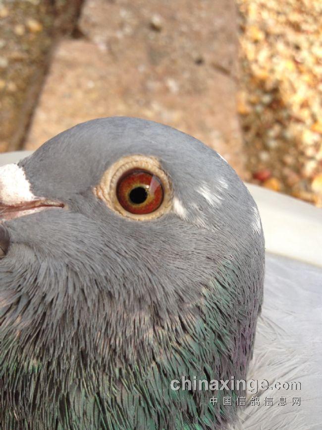 七星鸽舍种鸽和广西周裕军种鸽做出
