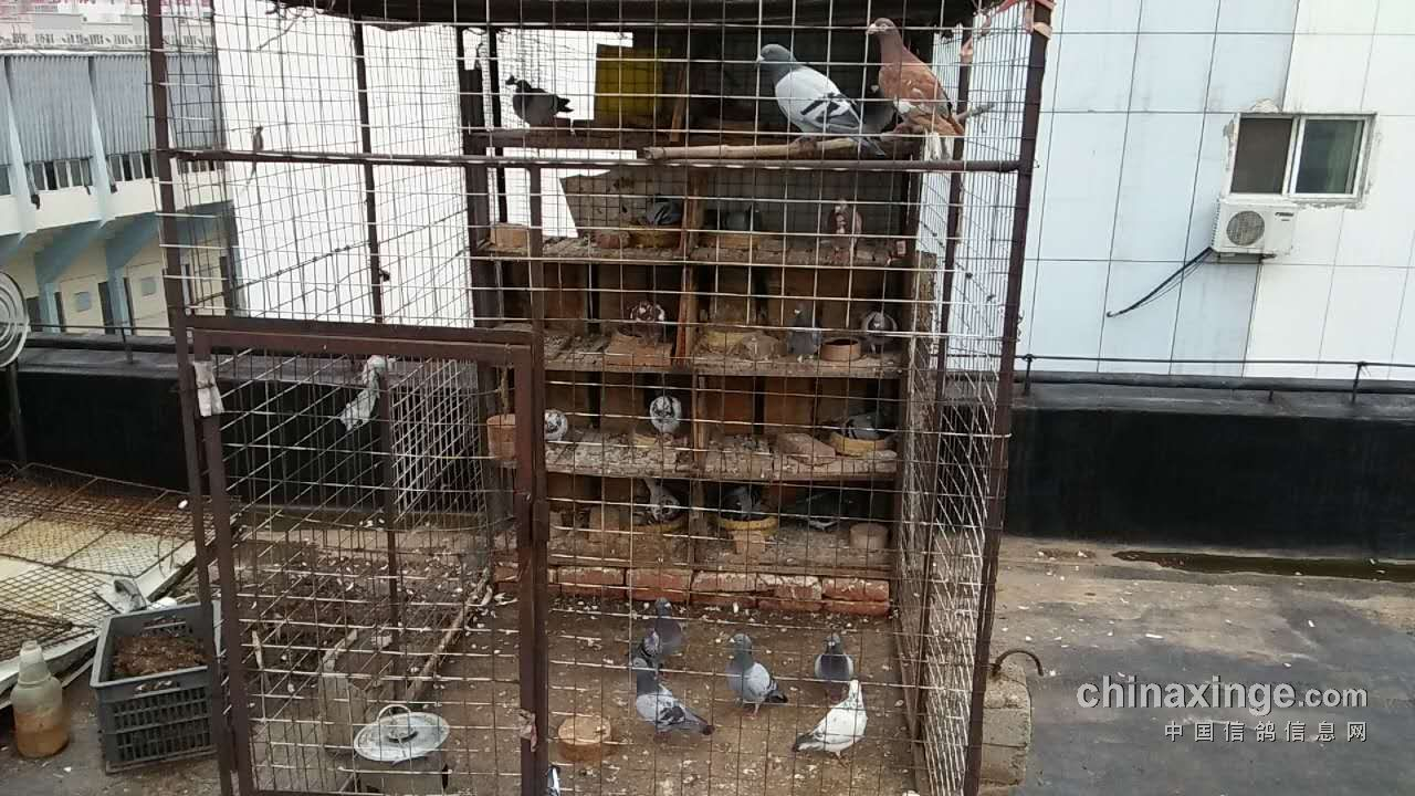 养鸽人就是这样,不管是豪华的大棚,还是简单的小笼,只要能养鸽子,就图片
