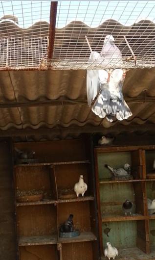 信鸽飞越跳笼视频二:   估计是跳笼设计不合格,跳笼口间距太远了!图片