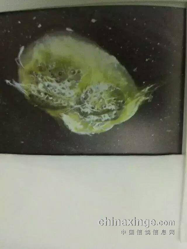 从粪便判断信鸽的疾病 图 -中国信鸽信息网图片