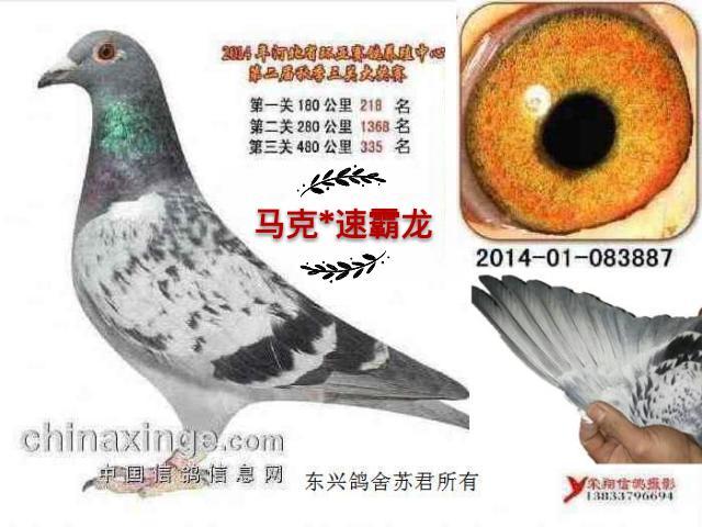 什么是好鸽子图片