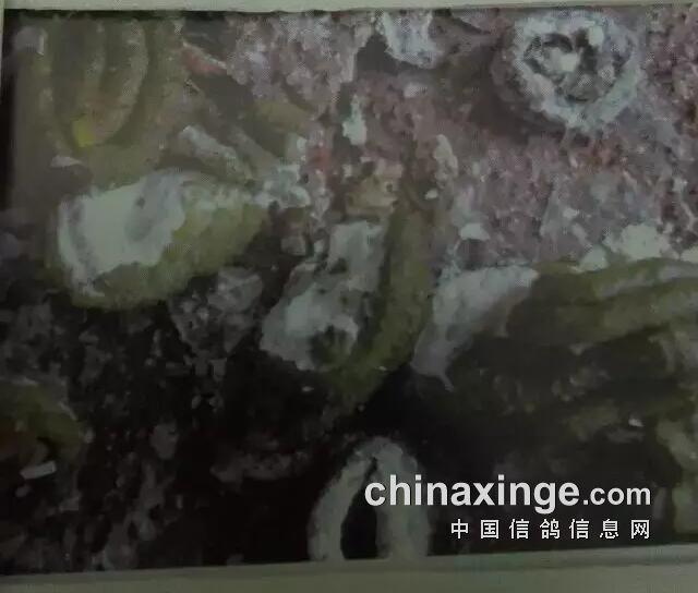 11.球虫与沙门氏菌感染-从粪便判断信鸽的疾病图片
