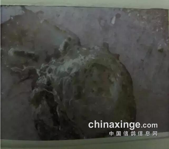 从粪便判断信鸽的疾病图片