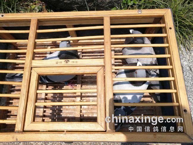 自已与鸽友叶江先生合作第二年,选送九羽参赛,入围12,42,45名,尚需努力