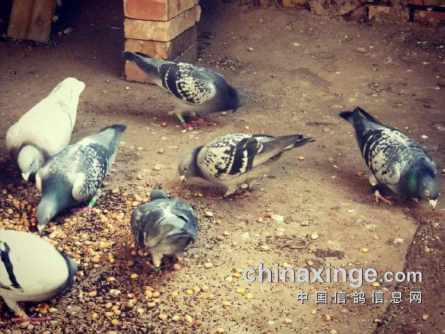 种鸽日常生活照