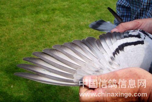 冠军鸽的翅膀(1)-飓风摄影室-中国信鸽信息网