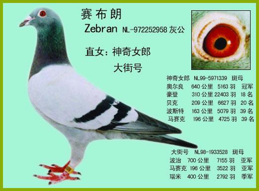 名鸽之父 fbj飞麒麟 中国信鸽信息网各地鸽舍