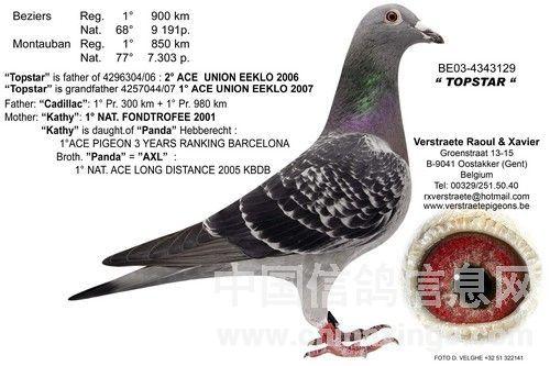 2008年比利时卡奥尔国家赛冠军鸽欣赏(图),