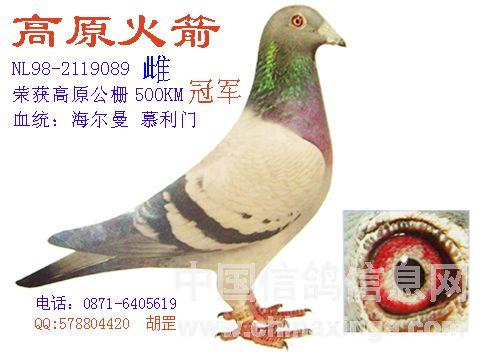 鉴定种鸽的遗传性能 高原火箭