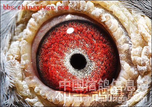 鸽眼结构欣赏-震翔天下-中国信鸽