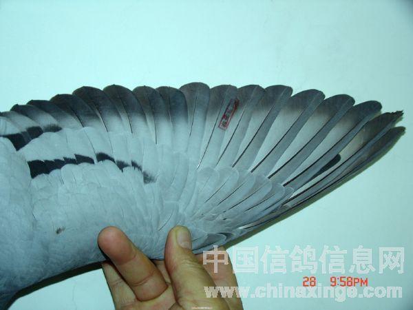 冠军鸽翅膀-飓风摄影室-中国信鸽信息网 www