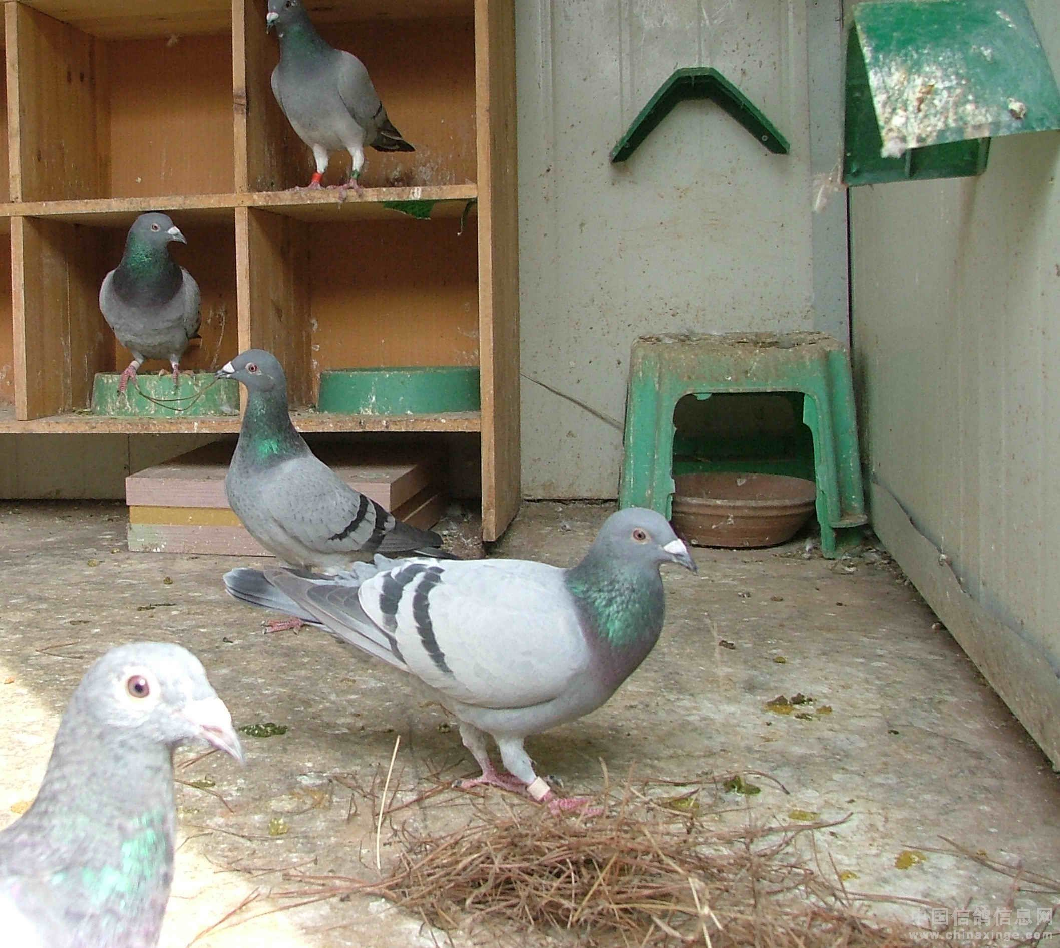 养鸽子的方法_信鸽怎样配对出好鸽子图片免费下载