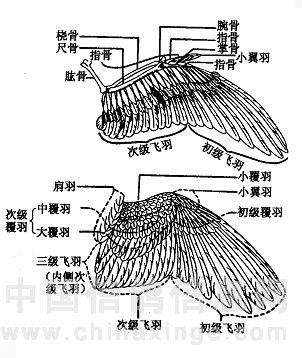 信鸽眼解刨图_鸽的外形与解剖[图]-国良鸽舍-中国信鸽信息网各地鸽舍