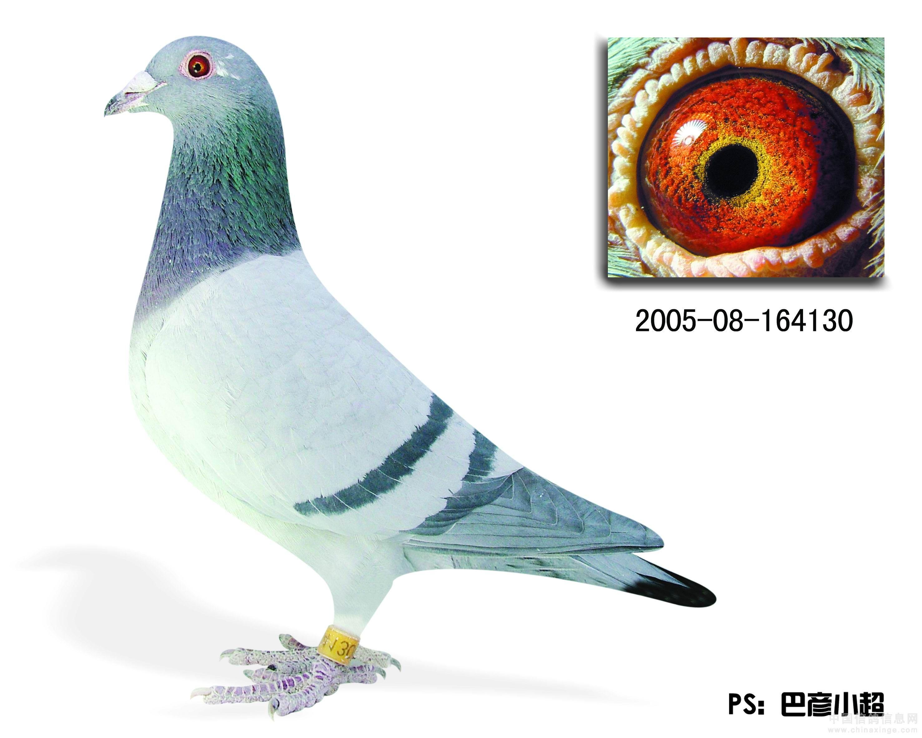 老品种信鸽图片