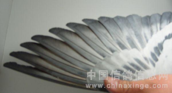 冠军鸽的翅膀-锡盟马大鸽舍-中国信鸽信息网