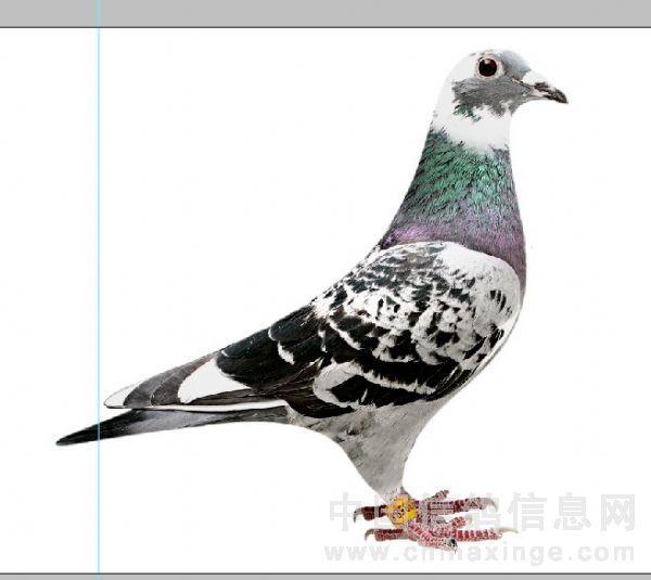 鸽子正羽结构图